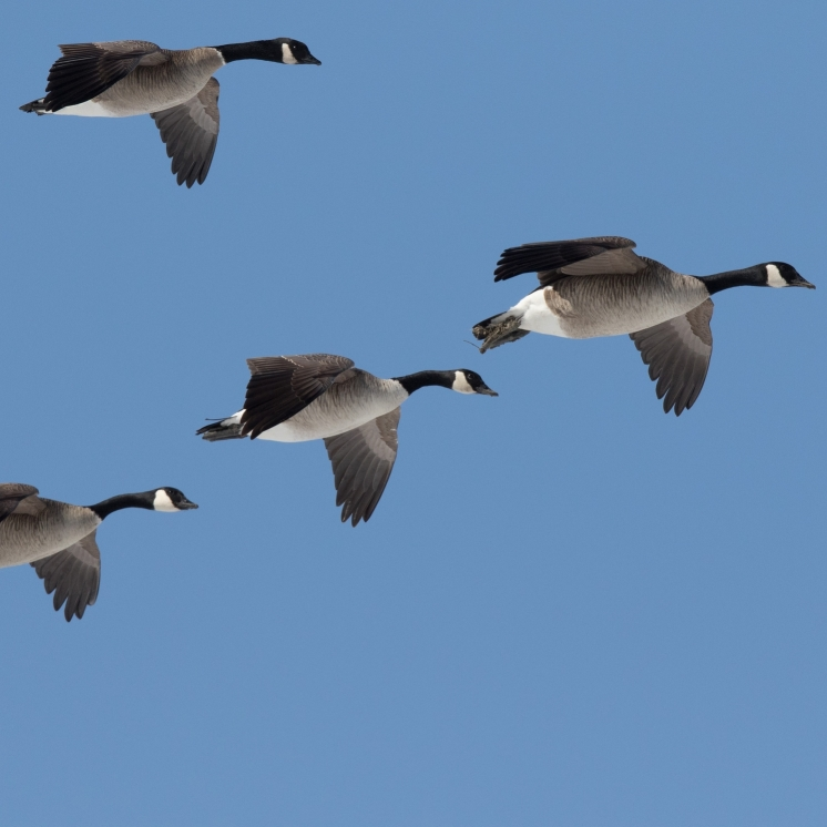 Canada Geese, photo by Fred Greenslade