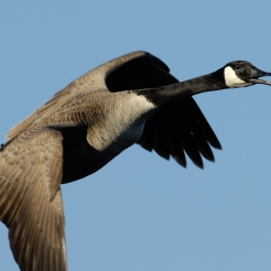 Canada Goose, photo by Fred Greenslade