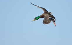 Mallard, photo by Fred Greenslade