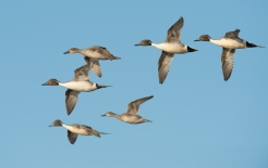 Northern Pintail, photo by Fred Greenslade