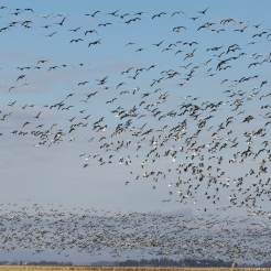 Snow Geese, photo by Fred Greenslade